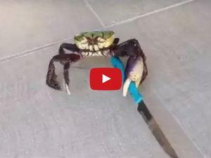 VIDEO - le crabe au couteau, nouvelle égérie du web