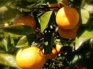 Mandarines (MIKAN)
