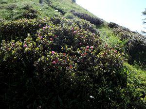Pensée éperonnée, rhododendron ferrugineux, dryade à 8 pétales, Bartsie des Alpes