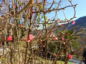 Pommier du japon superbement fleuri en décembre