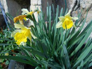 Magnolia, Iris, Jonquilles... en fleurs en février