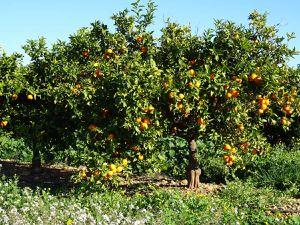 Orangers gorgés de fruits, région du delta de l'Ebre, Noël 2016