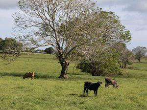 Le plateau de Taravao, rencontre avec des vaches et des veaux !