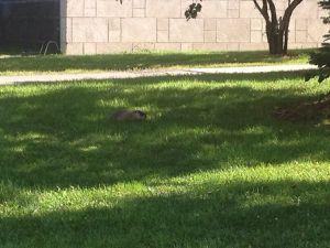 Les marmottes :)