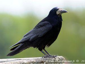 Le geai des chênes appartient à la famille des Corvidés, c'est donc un proche parent des corbeaux, des pies, des corneilles et des choucas. Les corvidés comptent (avec les perroquets) parmi les oiseaux qui ont produit les meilleurs résultats en termes d'intelligence, certains étant capables d'utiliser des outils, et d'en fabriquer. Ces oiseaux ont des comportements sociaux développés et ont une hiérarchie au sein du groupe. Nombre d'entre eux jouent par ailleurs un rôle important dans les écosystèmes en tant que charognards.