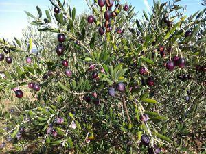 Olives noires en saumure
