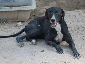 P.Estrella  galga croisée noire 3/4 a a l'adoption chez sos chiens galgos