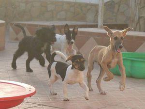 TINKA 7 mois à l'adoption chez sos chiens galgos