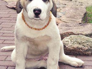 25€ port offert collier pour chiens en Ambre véritable  réglable de 30 cm à 38cm