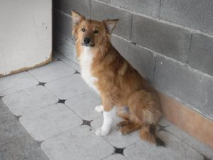 Jeune Border Collie X à adopter