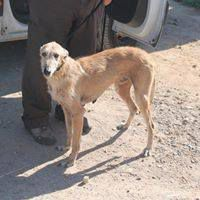 levrier galgo barbudo à l'adoption en Normandie chez sos chiens galgos