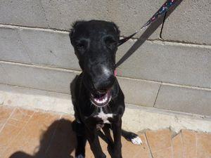 Chiot galgo d'Espagne  ne fin mars 2017 a l'adoption a l'association sos chiens galgos