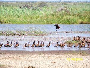 """La piste passe dans le parc naturel des oiseaux de Djoudj. On y voit des flamands, des pélicans et des oiseaux non identifiés. Ici vivent aussi des crocodiles, des phacochères que nous n'aurons pas le plaisir de croiser. Au poste de gendarmerie une tortue vient se désaltérer. Ayant tous mal quelque part les gentarmes nous taxent Aspirine et Dafalgan, Jacques s'y transforme aussi en infirmier pour """"bétaïnée"""" une plaie. N'ayant pas souvent de touristes ils sont ravis de notre passage...Des mangroves sont replantées dans les marais."""