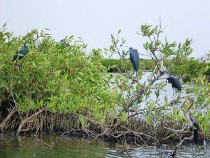 Nous ne pouvions pas quitter la côte ouest sans aller dans le Siné Saloum dont le delta est riche de curiosités. Son chef lieu est Kaolack.La région est une immense zone marécageuse colonisée par la mangrove. Nous y trouverons une pirrogue pour nous faire découvrir de nombreux oiseaux et les fameuses mangroves dont les racines sont recouvertes d'huitres fameuses. Il existe depuis quelques années de grandes actions de reboisement des mangroves. Nos 3h de ballade serons fraiches et agréables.