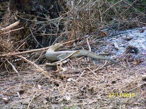 La visite dans le parc de Niokolo Komba commence par une piste peu large et très boisée. Les locaux mettent souvent le feu aux herbes pour que les chasseurs y voient le gibier. Mais ici toute chasse et ramassage quelconque est interdit. les animaux sont prioritaires au dépend de 5 villages et tout leurs villageois ont été expulsés il y a 30 ans. Ils y vivaient heureux sur une terrre riche et maintenant buffles, lions, hippopotames,crocodiles et antilopes s'y multiplient en liberté sur 913 000 hectares.