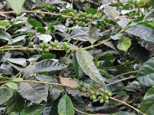 La vallée de Cocora et le café colombien
