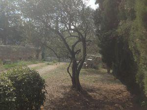2 des oliviers, le 3 eme se trouvant derriere les cypres.