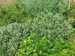 Massif de plantes aromatiques