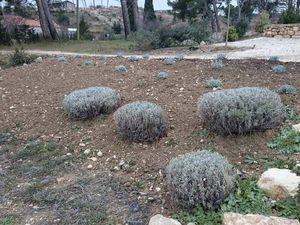 Plantation de la butte - Lavande officinale (Lavandula officinalis)