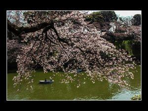 世の中は三日見ぬ間の桜かな - - - - -  - - -( Yo No Naka Ha MikKa MiNu Ma No Sakura KaNa) - - - - - - - - - - - - Tout comme le cerisier qui fleurit et se fane en quelques jours, le monde change à une vitesse folle.------Photos de Jean-Paul B