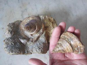 Pyrgotrochus punctatus