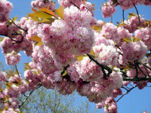 Les cerisiers à fleurs illuminent notre région