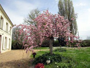 Cerisier à fleurs  et arbre fruitier, monnaie du pape et aubriétias