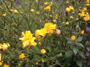 Capucines,roses de Noël ,camelia,corete du Japon ,petites fleurs jaunes.