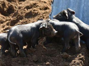 Toute la famille est représentée : truie et ses porcelets, verrat et jeune porcs Gasons.
