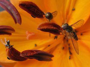 Schwebfliege an Feuerlilie