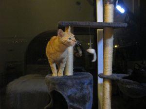 Sid, quelques semaines après son arrivée. Nous ne pouvions toujours pas le toucher mais il commençait à jouer et se transformait dès qu'il voyait Jazz (la tâche noire dans l'arbre à chat).
