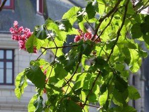 Les marronniers en fleurs sur les quais de Quimper