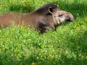 Tapir terrestre et ours à lunette