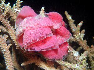 Oeufs de Nudibranches Hexabranchus sanguineus, Danseuses espagnoles