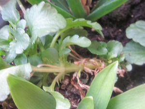 et un petit bonheur, de voir les jacinthes montrer leur couleur