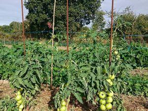 Les melons et les tomates à venir !