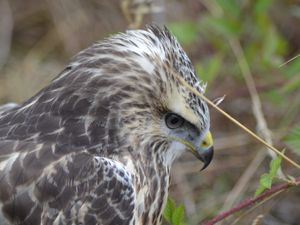 La buse variable (Buteo buteo) Photos : Jean-Louis Schmitt (ANAB)