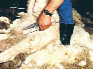 Une région emmitouflée dans la laine depuis très longtemps (1)