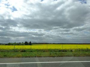 Paysage d'autoroute A85, champ jaune de colza, bosquet dans le fond, Cl. Elisabeth Poulain