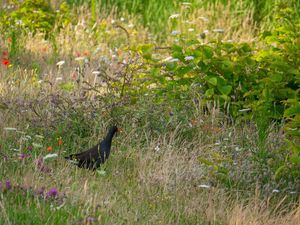 Album palmipèdes : poule d'eau (3 images), goélands bruns et grèbe huppée