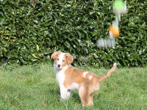 Le premier chien berger d'Auvergne… breton !