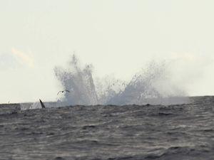 Rorqual de Bryde. Les baleines nagent paisiblement, mais quand elles sautent, leurs bonds sont impressionnants.