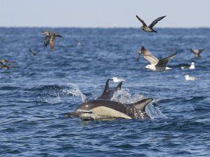Le ballet des dauphins communs.