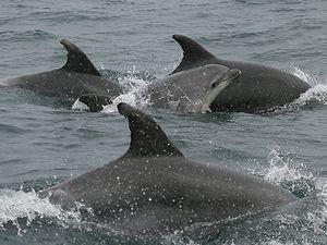 Les grands dauphins du Mor Braz