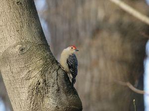 Central park, au coeur de New York, regorge d'oiseaux. Ici un cardinal rouge et un pic à ventre roux.