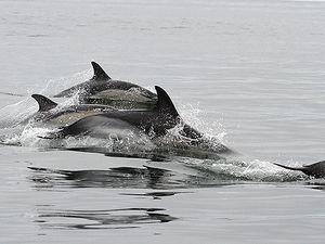 Dans l'ordre : dauphins communs, puffin des Baléares, grands dauphins, dauphins communs, fou de bassan, grand labbe.