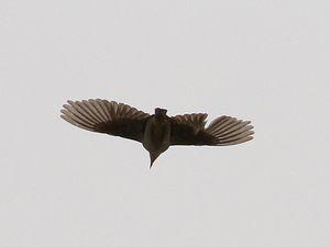 Sur la route, avant que l'orage n'éclate... faucon sacre, buse de Chine, Eremius argus, pipit de Godlewski