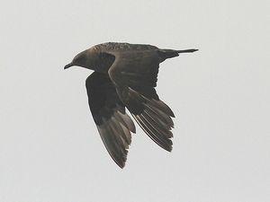 Grand labbe et labbe parasite. Quand ces terreurs de la mer arrivent, les autres oiseaux décollent !