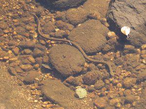 Une autre couleuvre vipérine, nageant sous l'eau, observée la veille, lors d'un affut sur une autre rivière à loutres...