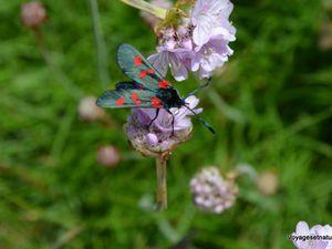 Zygènes et orchidées